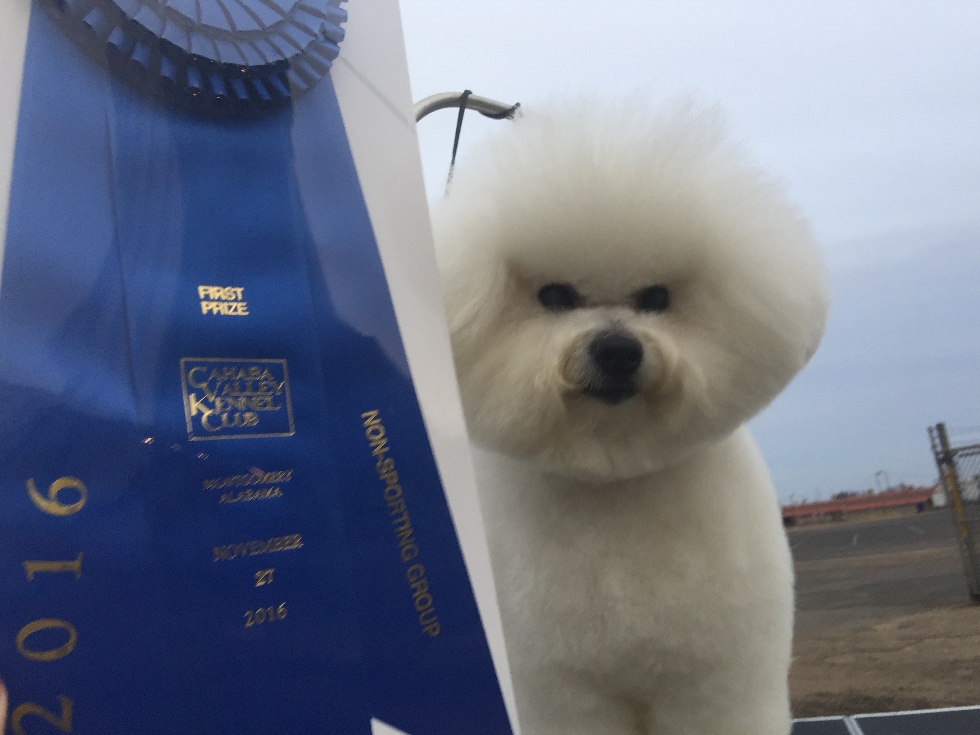 Another Group 1 for the #3 Bichon All-Breed and Breed